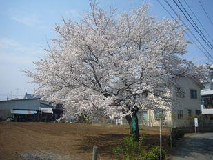 ipon sakura.jpg