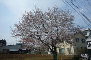 sakura yokoyama.JPG